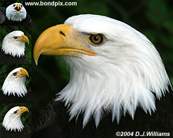 Bald Eagles print
