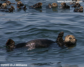 Sea Otters print